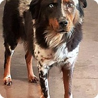 Australian Shepherd Dog for adoption in Oswego, Illinois - I'M ADOPTED Meesha