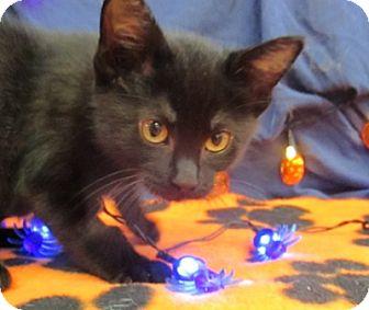 Domestic Shorthair Kitten for adoption in Lloydminster, Alberta - Winnie