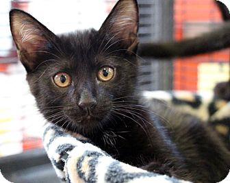 Domestic Shorthair Kitten for adoption in Sarasota, Florida - Snowy
