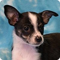 Adopt A Pet :: Groovy - Eureka, CA