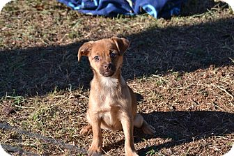 Chihuahua/Spaniel (Unknown Type) Mix Puppy for adoption in Wilminton, Delaware - Reese's