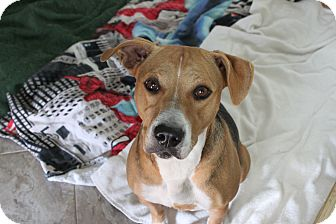 Beagle/Labrador Retriever Mix Dog for adoption in Wellington, Florida - SOFIA