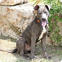 Adopt A Pet :: Agassi - Denver, CO