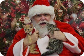Domestic Shorthair Kitten for adoption in Washington, Virginia - Gracie