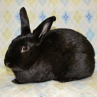 Adopt A Pet :: Sweetness - Chesterfield, MO