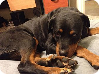 Rottweiler Dog for adoption in Gilbert, Arizona - Suri