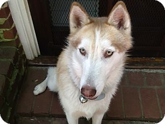 Siberian Husky Dog for adoption in Spring Valley, New York - Gypsy
