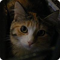 Domestic Mediumhair Cat for adoption in Newburgh, New York - Rainbow