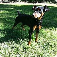 Adopt A Pet :: Sampson - Nashville, TN