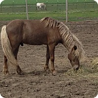 Pony - Other Mix for adoption in Dewey, Illinois - Silver