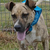 Dutch Shepherd/Terrier (Unknown Type, Medium) Mix Dog for adoption in Liverpool, Texas - LANCE **VIDEO**