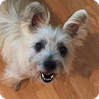 West Highland Terrier Mix Puppies Staten Island, NY - We...