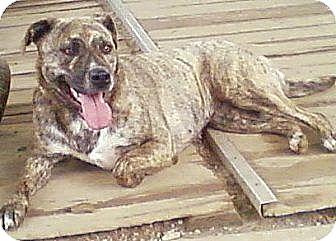 Terrier (Unknown Type, Medium)/Cattle Dog Mix Dog for adoption in Toledo, Ohio - Jade