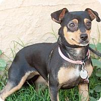 Adopt A Pet :: Strudel - Tucson, AZ