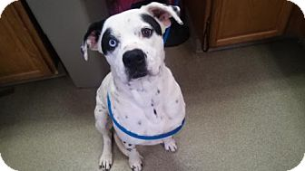 American Bulldog Mix Dog for adoption in Valley Falls, Kansas - Aticus
