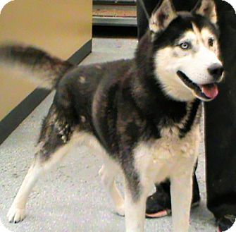 Husky Dog for adoption in Maynardville, Tennessee - Gamble