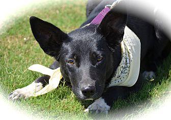 Australian Kelpie Mix Dog for adoption in Blanchard, Oklahoma - Libby