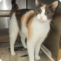 Domestic Shorthair Cat for adoption in Newport, North Carolina - Kim