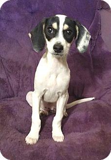 Rat Terrier/Thai Ridgeback Mix Puppy for adoption in Lawrenceville, Georgia - Nico