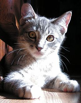 Domestic Shorthair Kitten for adoption in Bonsall, California - Timmy
