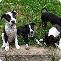 Adopt A Pet :: Nessa - Pittsburgh, PA
