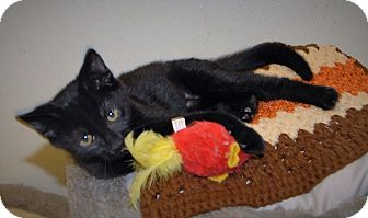 Domestic Shorthair Kitten for adoption in Wilmington, Ohio - Haas