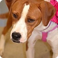 Boxer/Hound (Unknown Type) Mix Dog for adoption in Albemarle, North Carolina - Charlie
