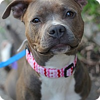 American Staffordshire Terrier Mix Dog for adoption in Mount Laurel, New Jersey - Izzy