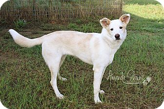 Collie/Spitz (Unknown Type, Medium) Mix Dog for adoption in Pilot Point, Texas - LEXI