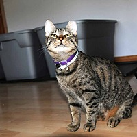 Domestic Shorthair Cat for adoption in Marlton, New Jersey - Dela