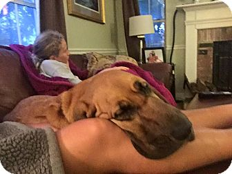 Bloodhound Dog for adoption in Fayetteville, Arkansas - Scarlett