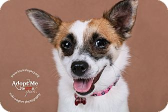 Papillon/Jack Russell Terrier Mix Dog for adoption in Cincinnati, Ohio - Misti
