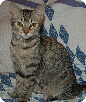 Domestic Shorthair Kitten for adoption in Great Mills, Maryland - Jill