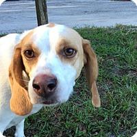 Beagle Dog for adoption in Gainesville, Florida - Hanna