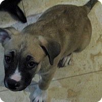 German Shepherd Dog Mix Puppy for adoption in Modesto, California - Madonna