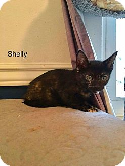 Domestic Shorthair Cat for adoption in Valley Park, Missouri - Shelley