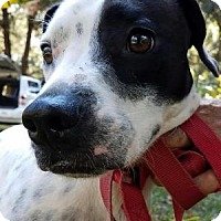 Dalmatian/Labrador Retriever Mix Dog for adoption in Tampa, Florida - Banjo