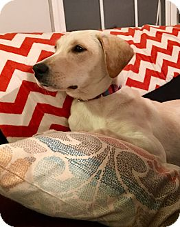 Labrador Retriever Mix Puppy for adoption in Woodstock, Georgia - Virginia