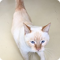 Siamese Cat for adoption in Newburgh, Indiana - Carrot Top