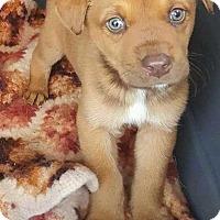 Adopt A Pet :: Cooper - Mesquite, TX