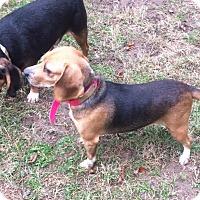 Adopt A Pet :: Lilybell - Dumfries, VA