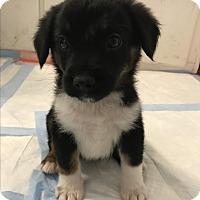 Adopt A Pet :: Noah - Thousand Oaks, CA