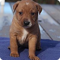Adopt A Pet :: Buttercup's Butterscotch - Chantilly, VA