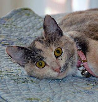 Calico Kitten for adoption in Lago Vista, Texas - Tinker Bell