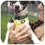 Photo 2 - Rat Terrier Dog for adoption in Charleston, Arkansas - Ronald-Rat Terrier