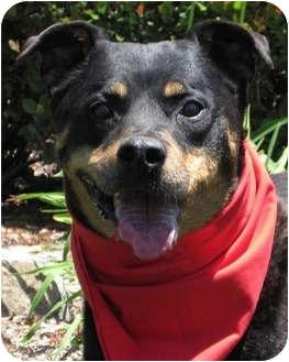 Rottweiler Mix Dog for adoption in Encinitas, California - Roxy
