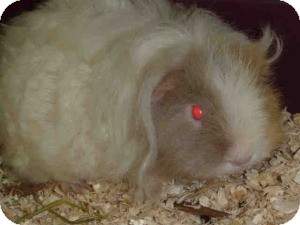 Guinea Pig for adoption in Fullerton, California - Beautiful white guinea pig