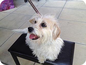 Westie, West Highland White Terrier/Norwich Terrier Mix Dog for adoption in Van Nuys, California - Goldie