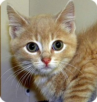 Domestic Shorthair Kitten for adoption in Green Bay, Wisconsin - Fabian