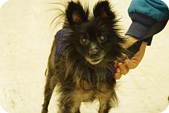 Chihuahua Mix Dog for adoption in Elyria, Ohio - Ernie